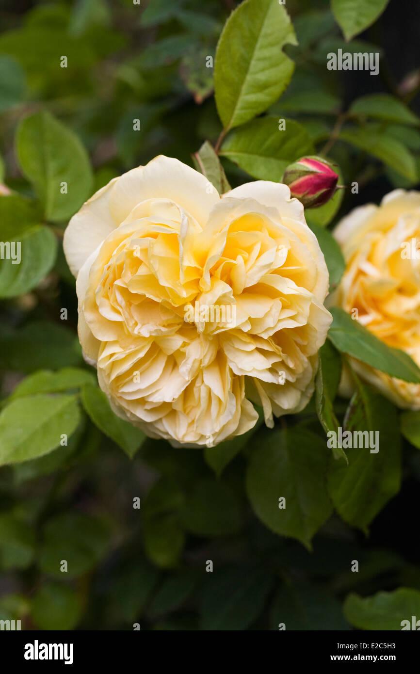 Rosa 'Teasing Georgia' . Yellow climbing rose in an English garden. - Stock Image
