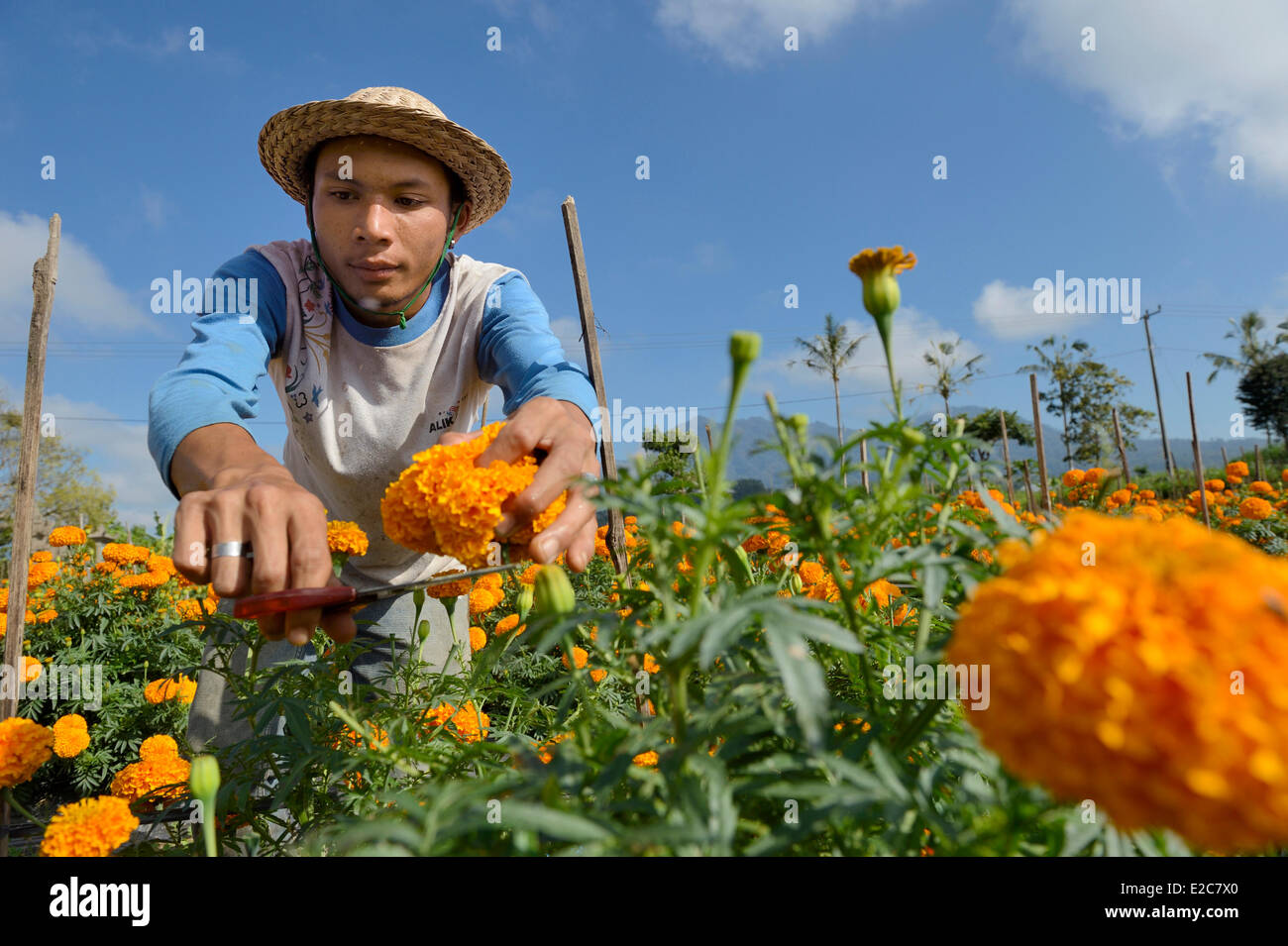 Indonesia, Bali, cultivation of French marigold in the centre of the island Stock Photo