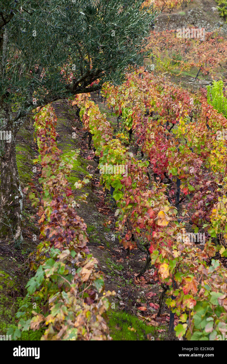 Portugal, Norte Region, Douro Valley listed as World Heritage by UNESCO, Lamego, vineyard in Autumn - Stock Image