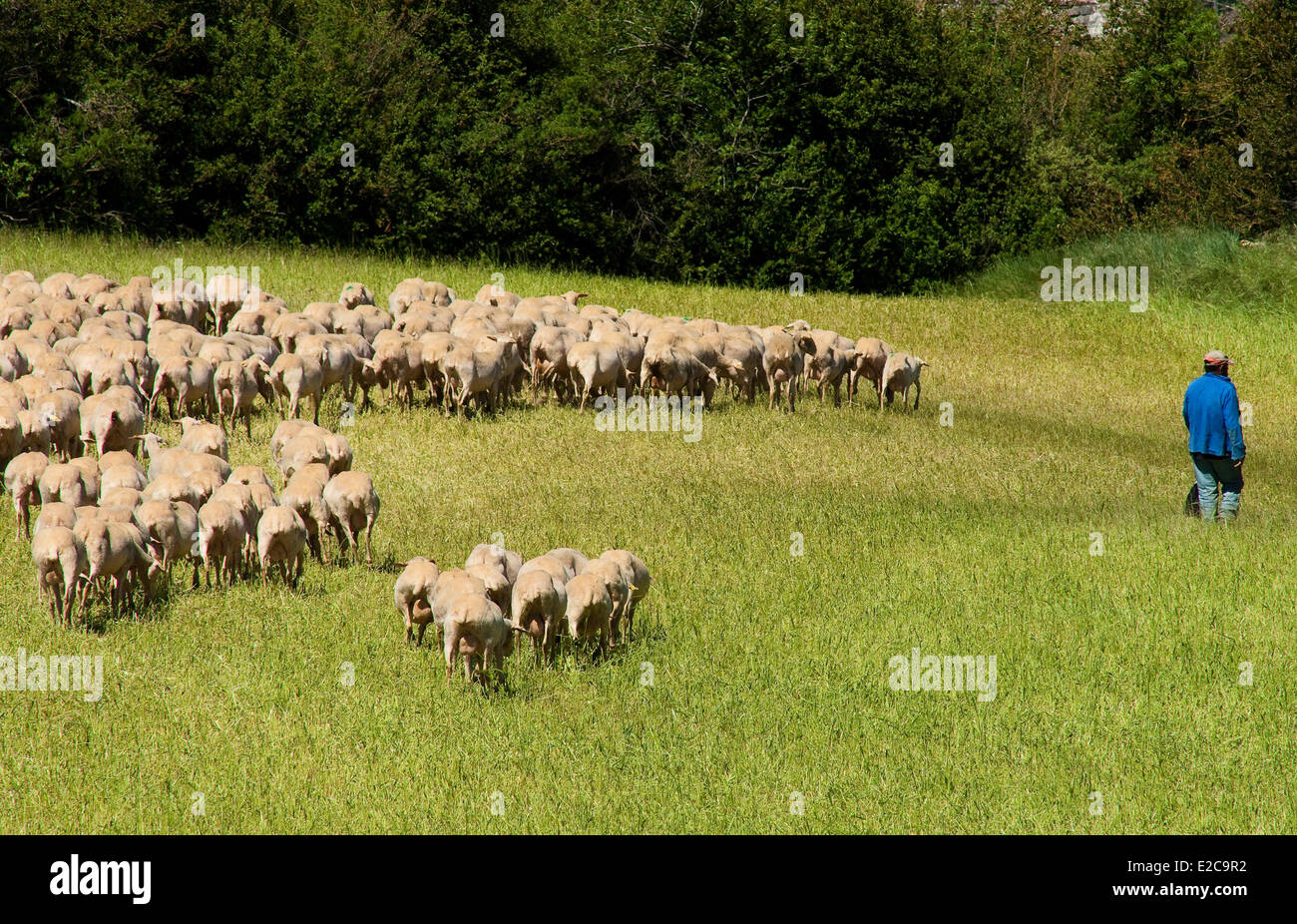 France, Aveyron, Melac shepherd and his flock - Stock Image