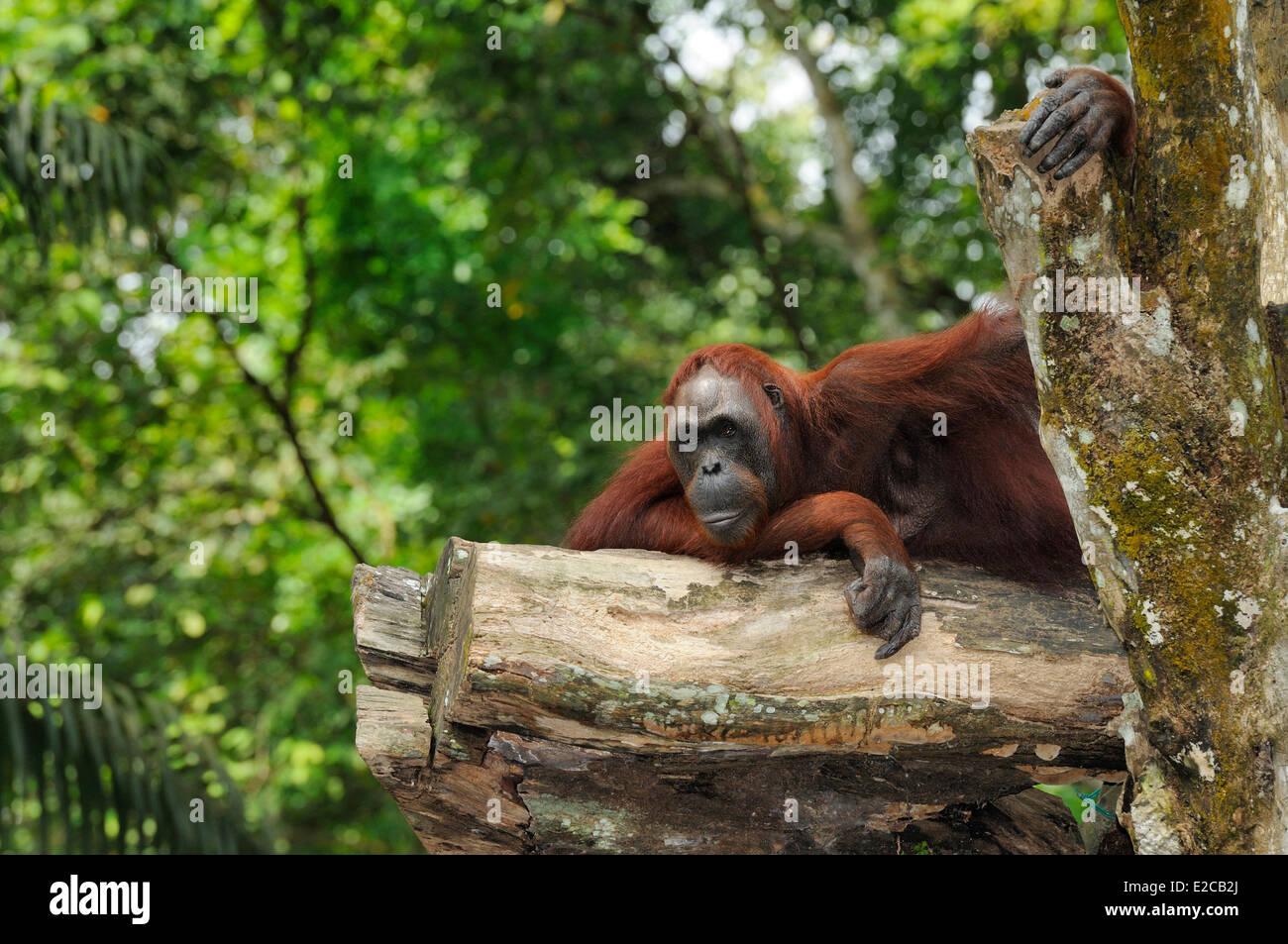 Singapore, Singapore Zoo, bornean orang utan - Stock Image