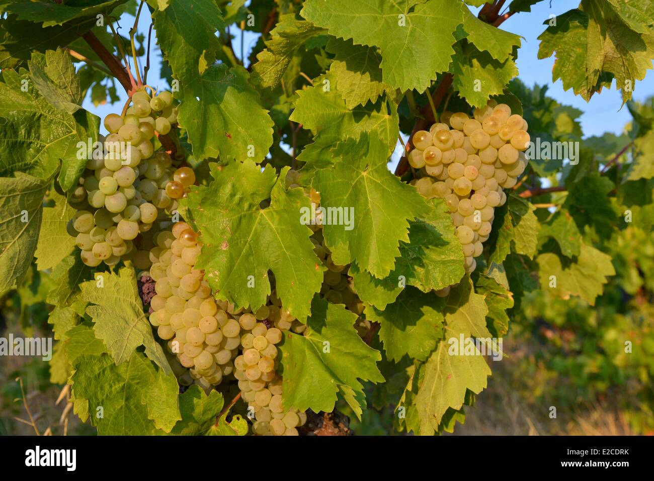 France, Herault, Boujan sur Libron, vineyards of the Domain of the Ancienne Cordonnerie, bunches of grapes cultivated - Stock Image