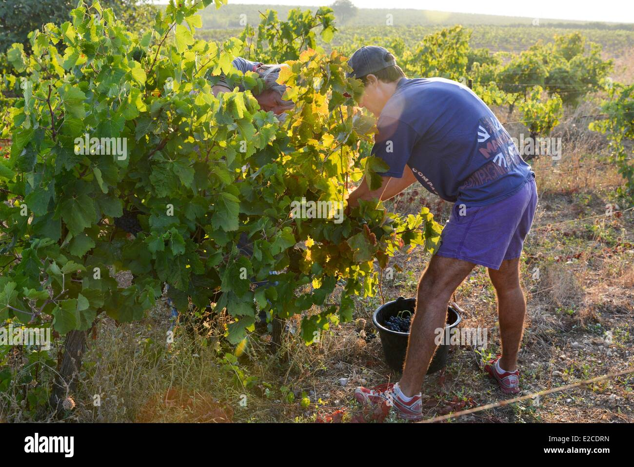 France, Herault, Boujan sur Libron, vineyards of the Domain of Ancienne Cordonnerie, grape harvests manual workers, - Stock Image