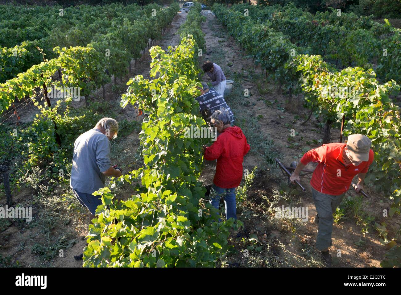 France, Herault, Boujan sur Libron, organic vineyards of the Domain of the Ancienne Cordonnerie, manual grape harvests, - Stock Image