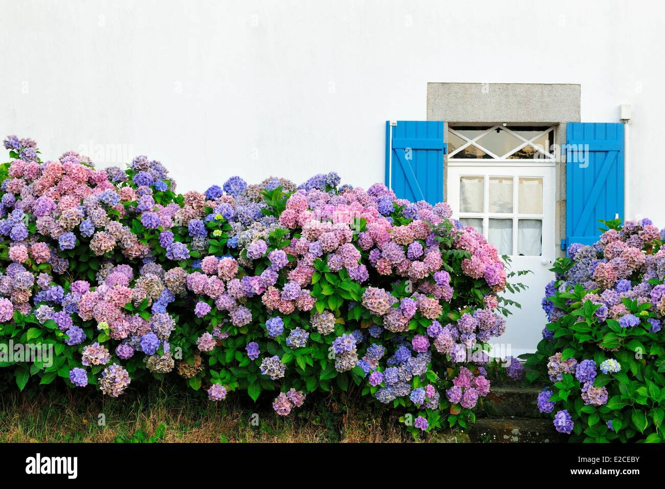 France, Finistere, Fouesnant, hydrangeas - Stock Image