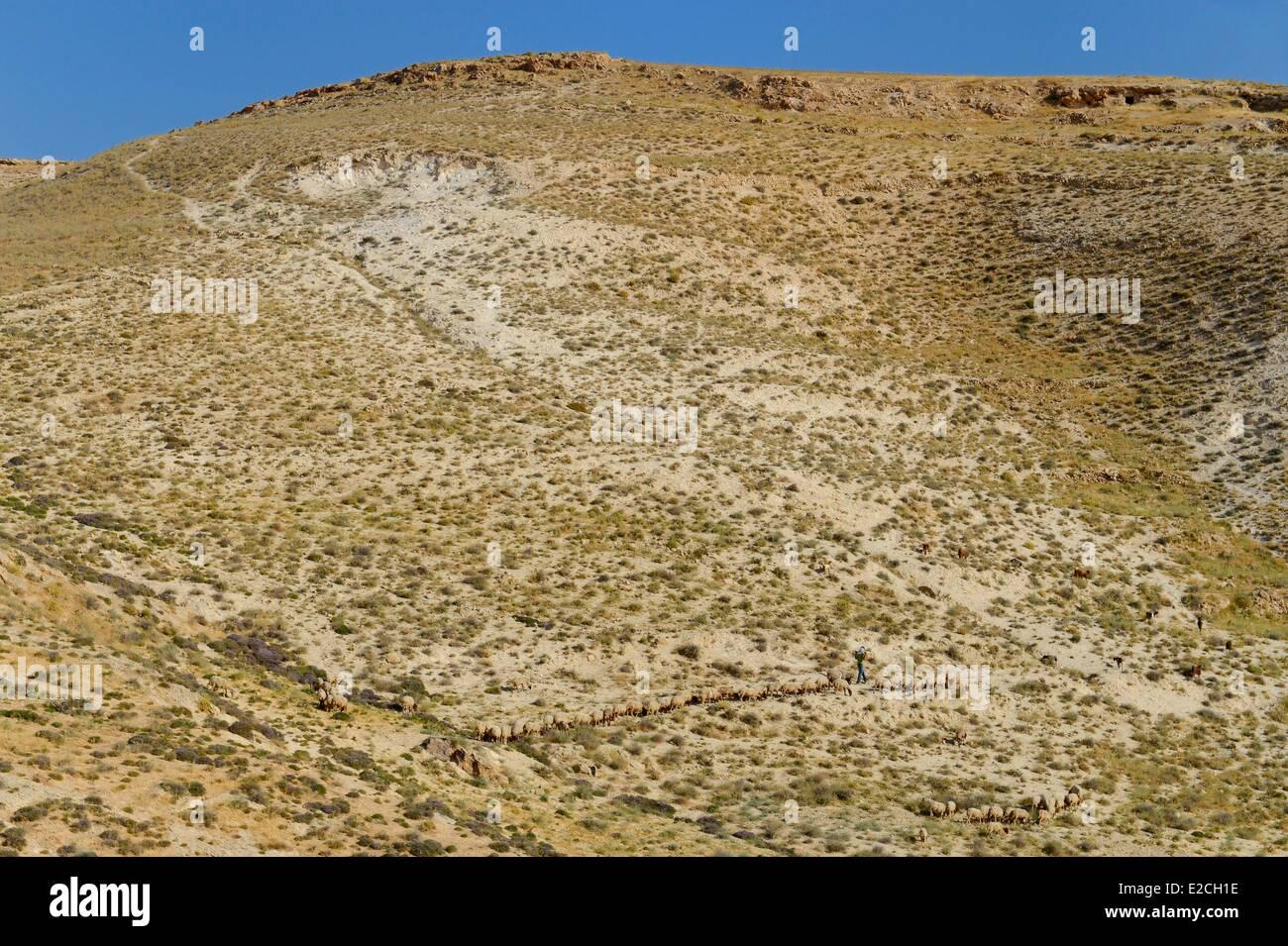 Palestine, West Bank (disputed territory), Bethlehem region, shepherd and his flock of sheep - Stock Image