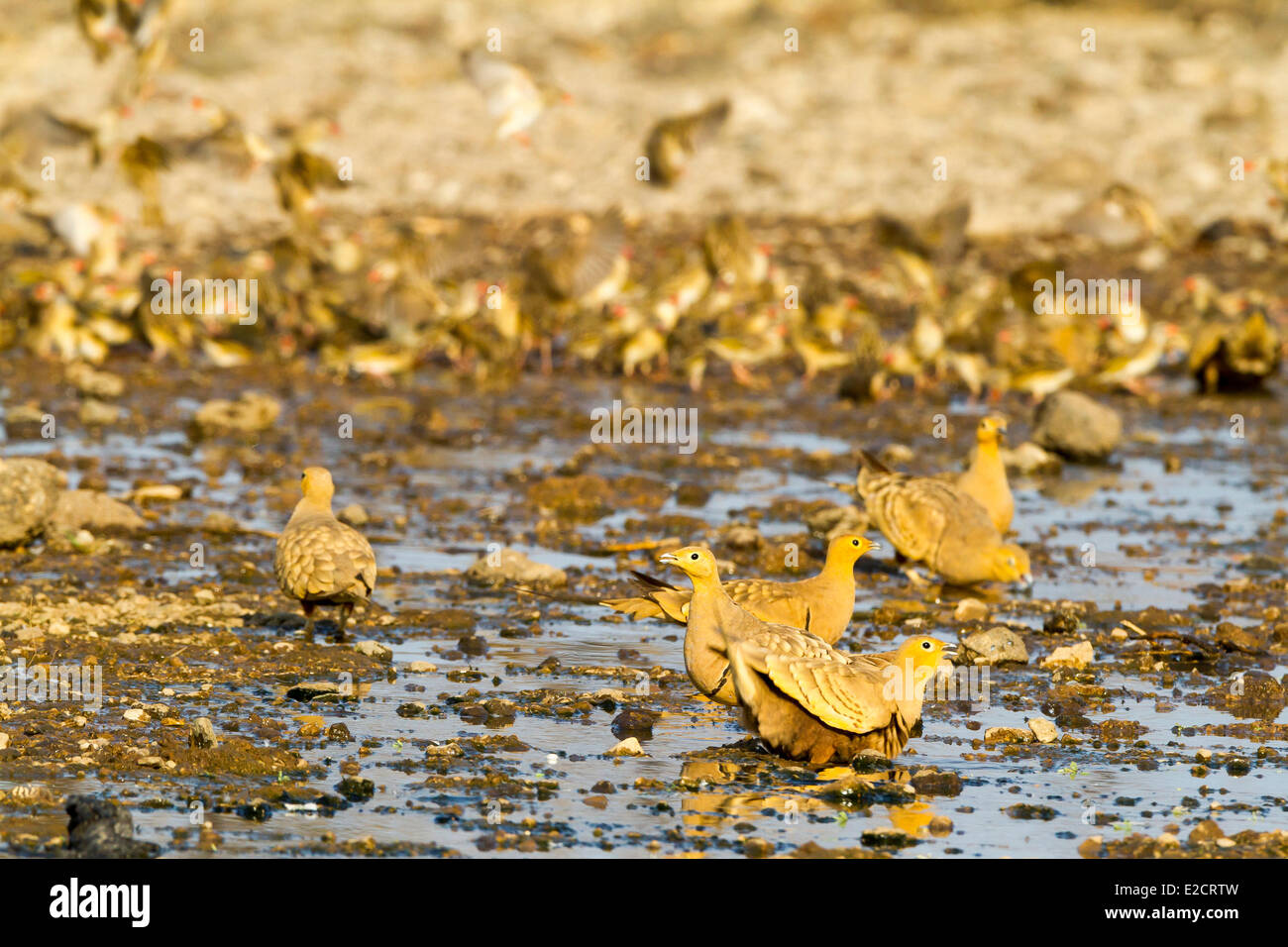 Kenya lake Magadi yellow-throated sandgrouse (Pterocles gutturalis) drinking Stock Photo