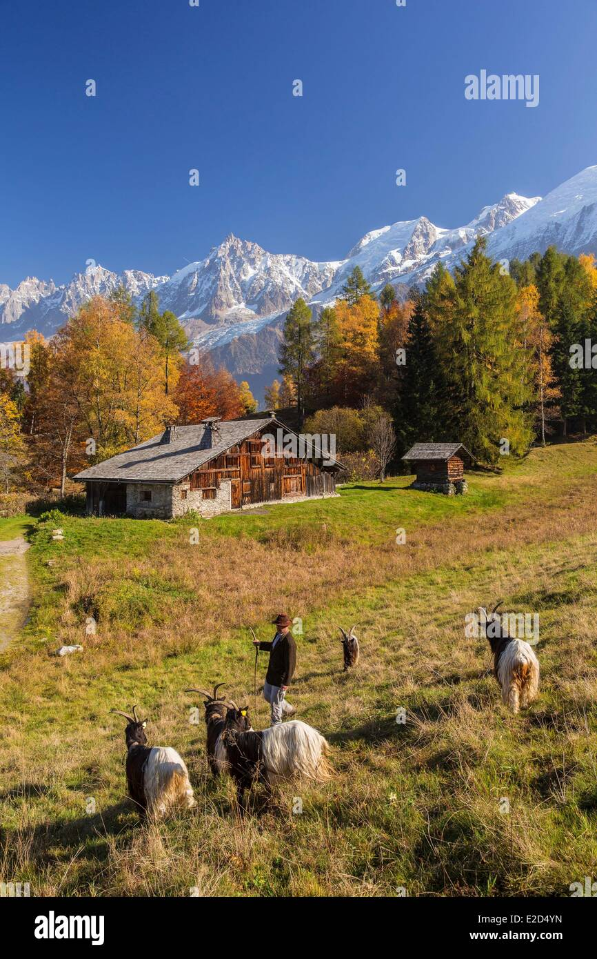 France Haute Savoie Les Houches shepherd with its goats of the glaciers in the hamlet of high mountain pasture of - Stock Image