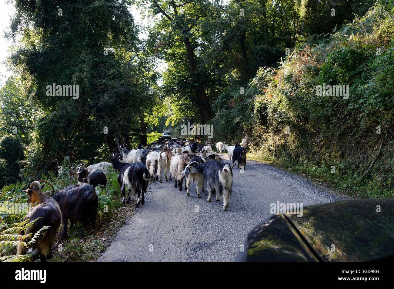 France, Haute Corse, herd of goats on a road of Castagniccia - Stock Image