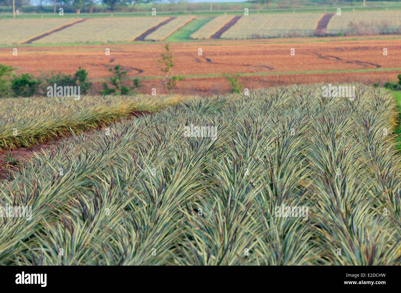 Swaziland Manzini district Malkerns valley pineapple cultivation - Stock Image