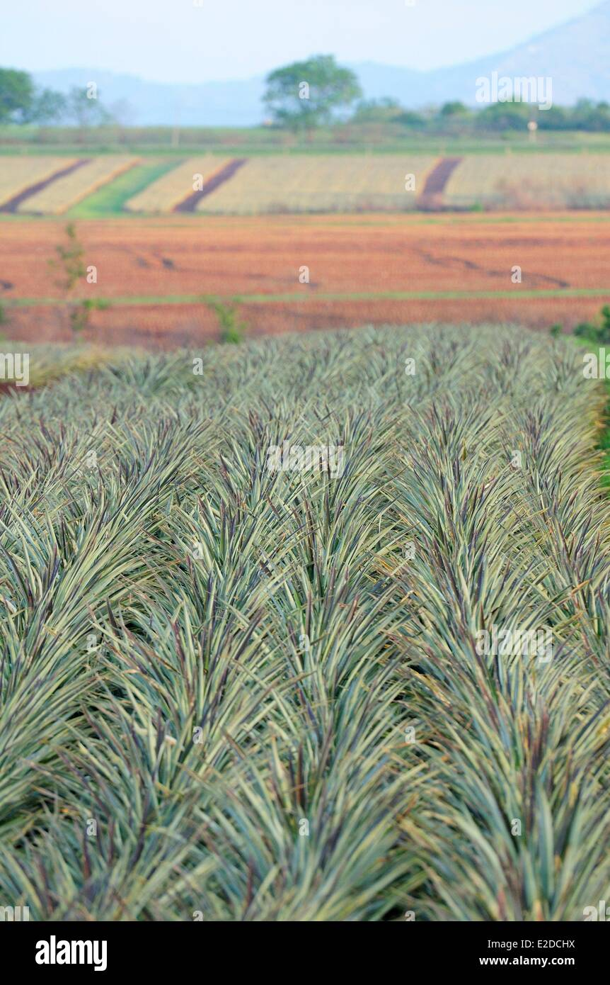 Swaziland Manzini district Malkerns valley pineapple cultivation Stock Photo