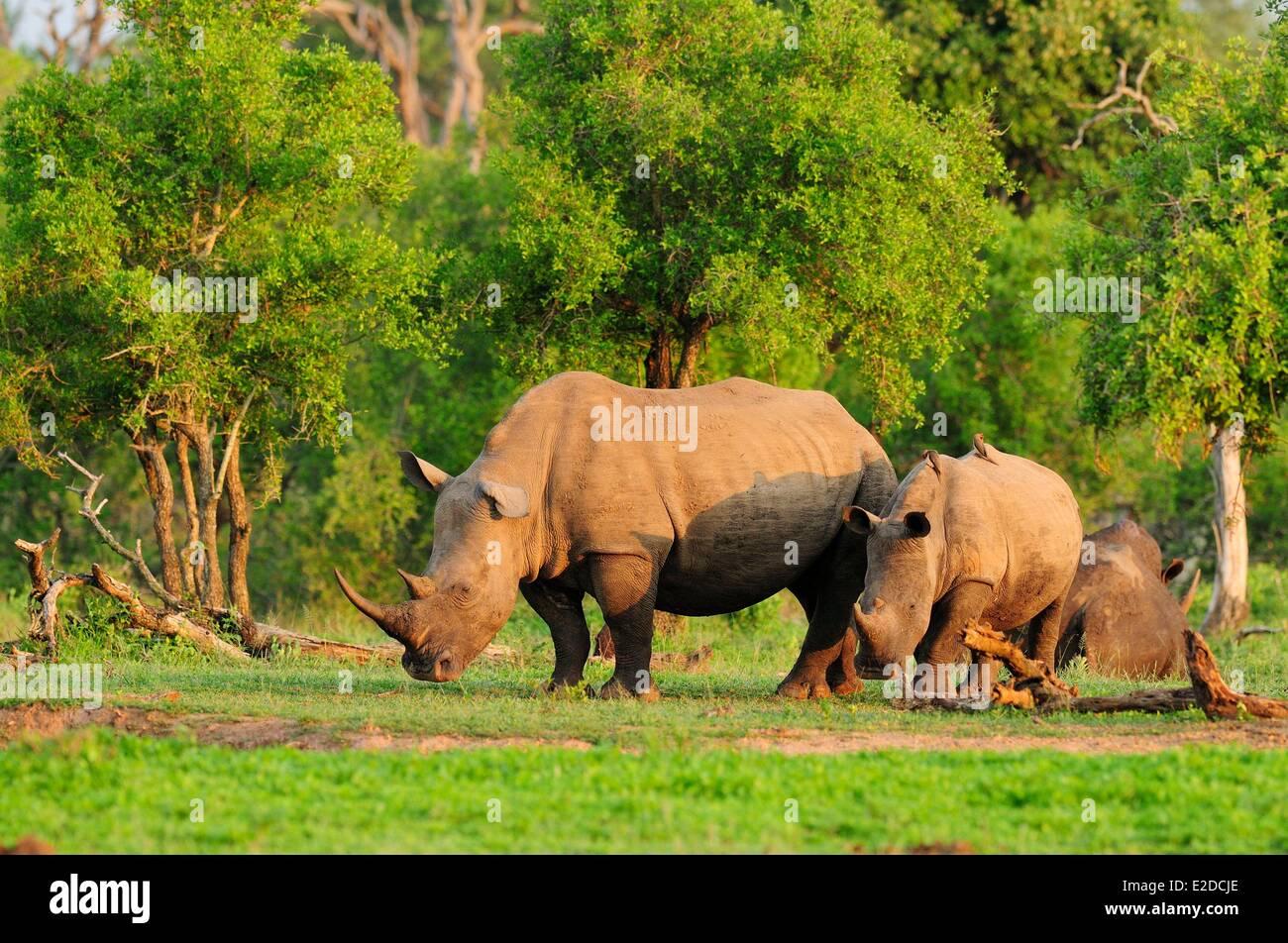 Swaziland Lubombo district Hlane Royal National Park white rhinoceros or square-lipped rhinoceros (Ceratotherium - Stock Image