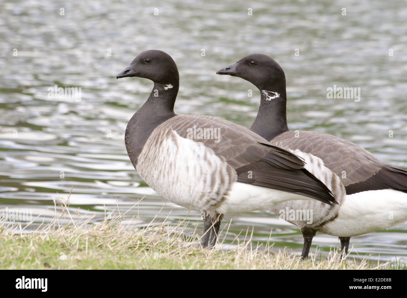 Pair of Brent geese standing by side of lake. - Stock Image