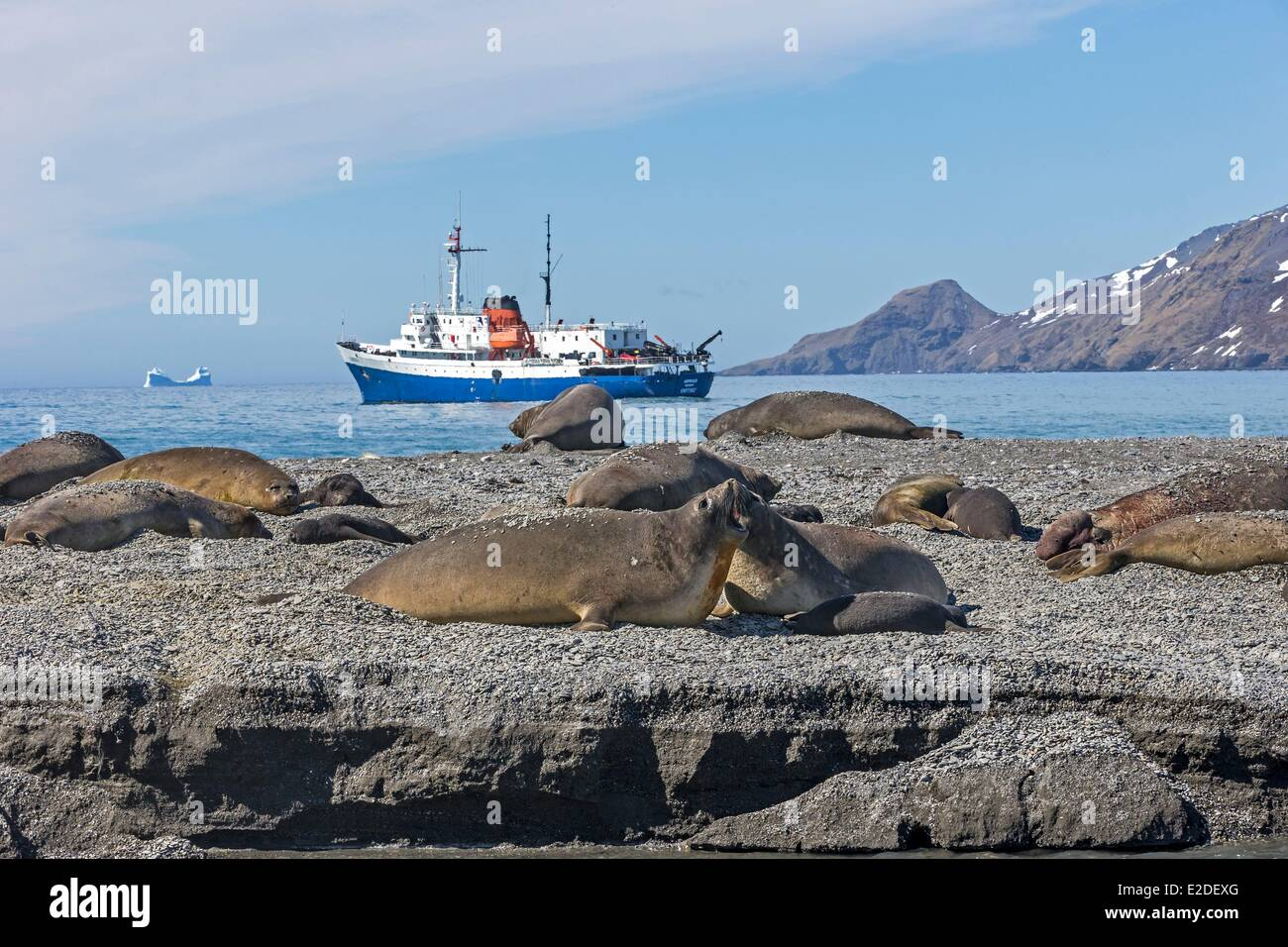Antarctic South Georgia Island St Andrews plains Southern Elephant Seal (Mirounga leonina) mother and new born baby - Stock Image