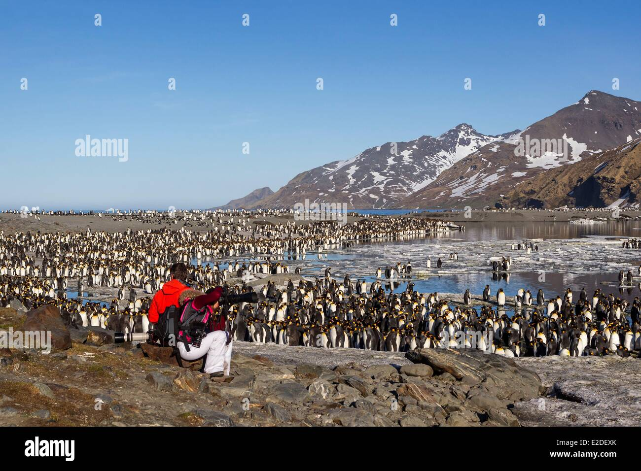 Antarctic South Georgia Island Saint Andrews plains King Penguin (Aptenodytes patagonicus) yougs in brown and adults - Stock Image
