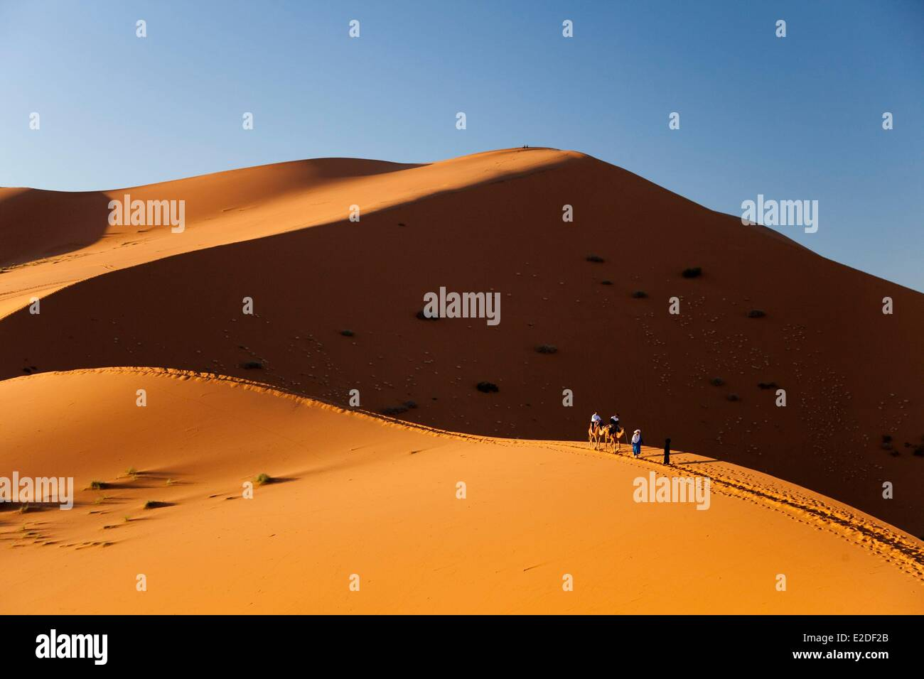 Morocco, Tafilalet region, Merzouga, erg Chebbi desert, camel trek on sand dunes - Stock Image