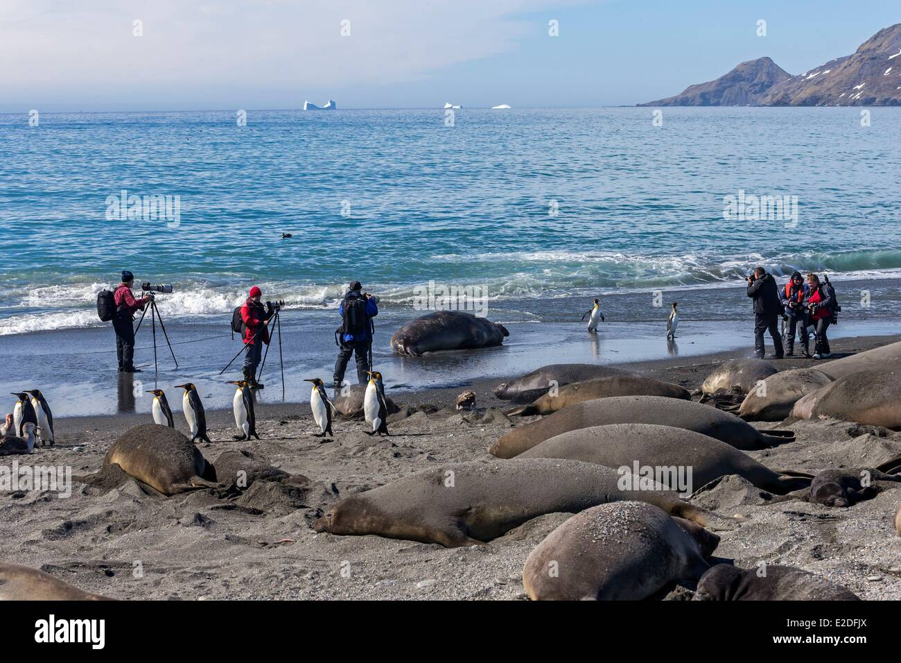 Antarctic, South Georgia Island, Salysbury plains, Southern Elephant Seal (Mirounga leonina), mother and new born - Stock Image