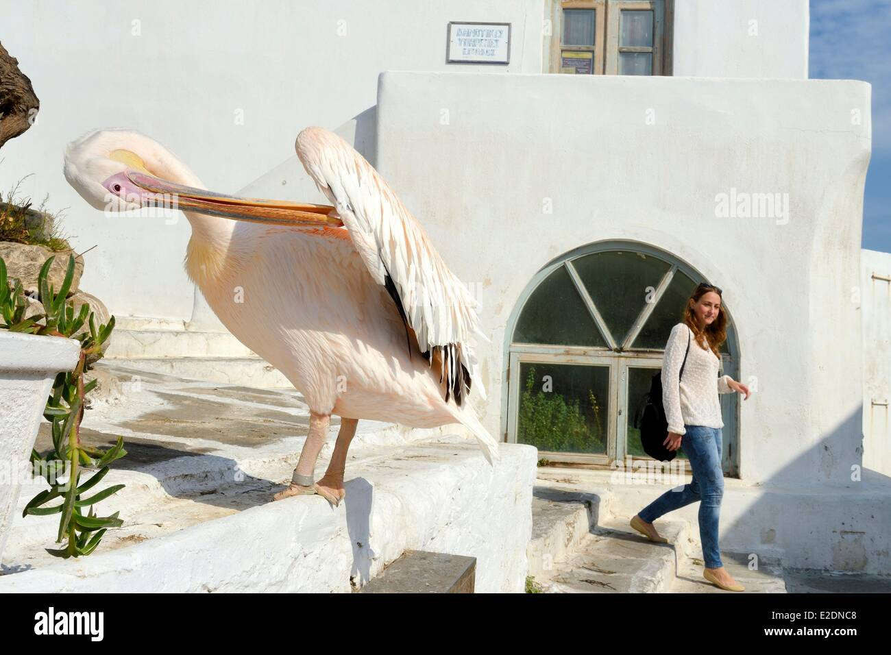 Greece Cyclades islands Mykonos island Chora (Mykonos town) the pelican became the mascot of the city - Stock Image