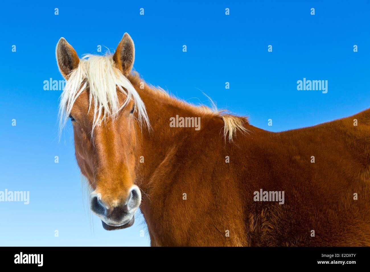 France Cantal close-up of horse Parc Naturel Regional des Volcans d'Auvergne (Auvergne Volcanoes Natural Regional - Stock Image