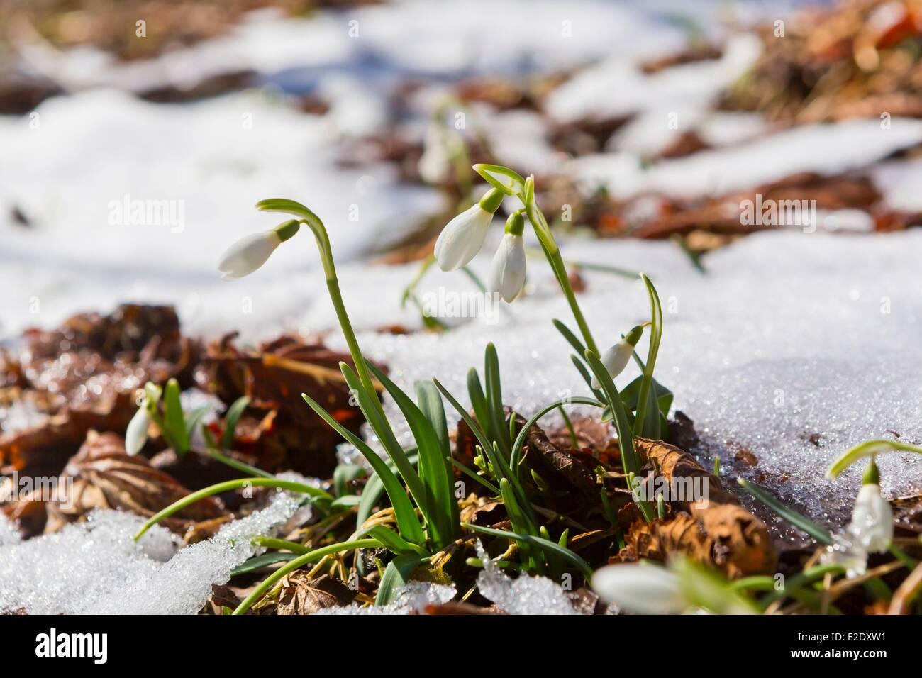 France Cantal Common snowdrop (Galanthus nivalis) Parc Naturel Regional des Volcans d'Auvergne (Auvergne Volcanoes - Stock Image