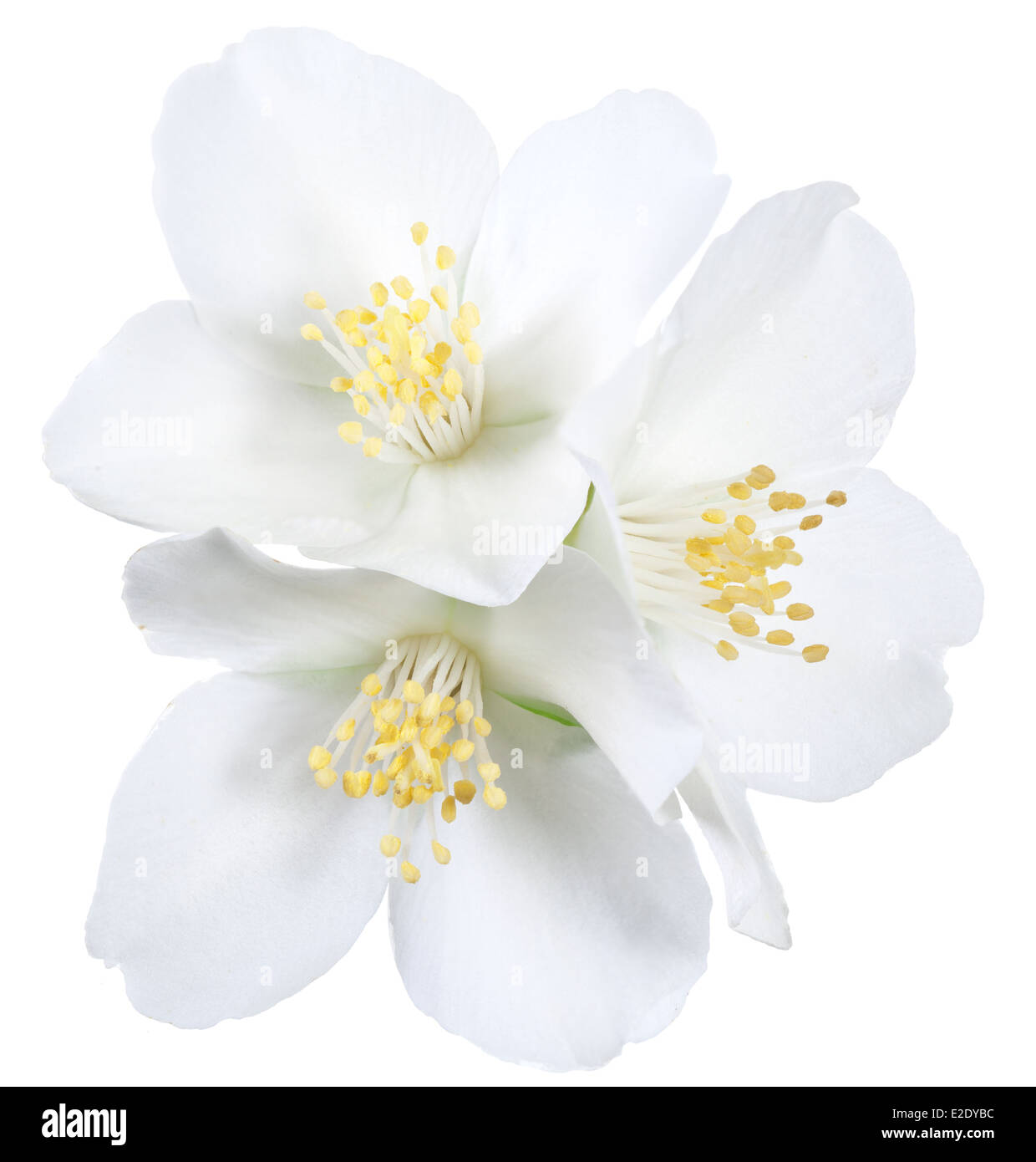 Blooming jasmine flowers. File contains clipping path. - Stock Image