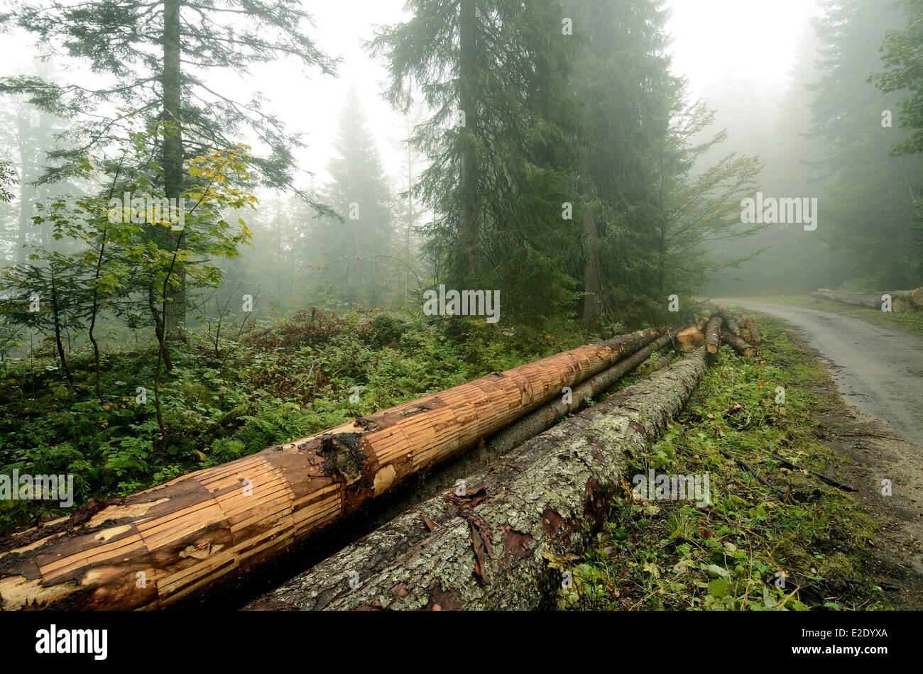 France Jura Lajoux Massacre forest (1300 m) forest road of Forets Monts logs spruces straps bark removed for Mont - Stock Image