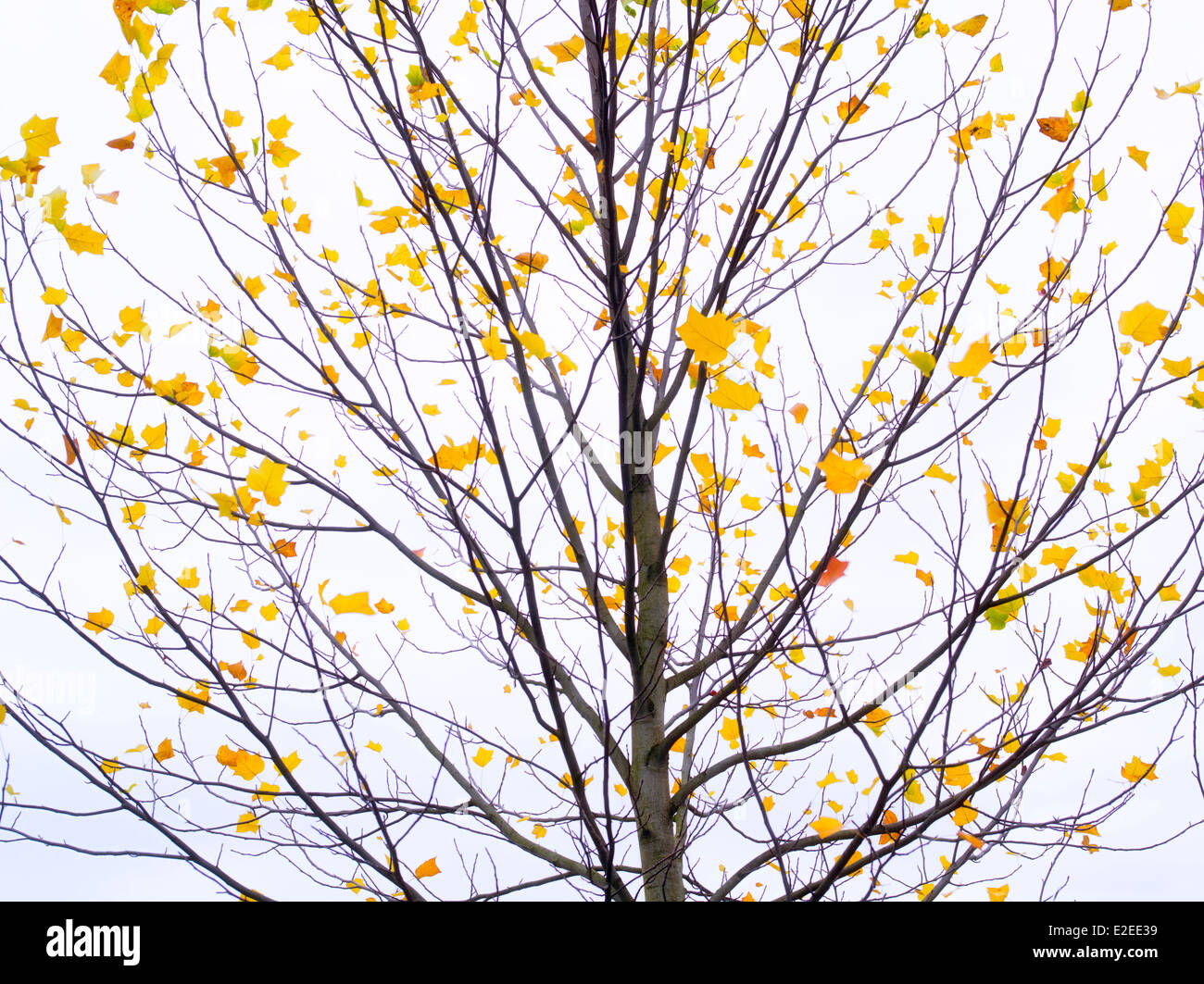 Maple tree with just a few autumn leaves. Wilsonville, Oregon - Stock Image