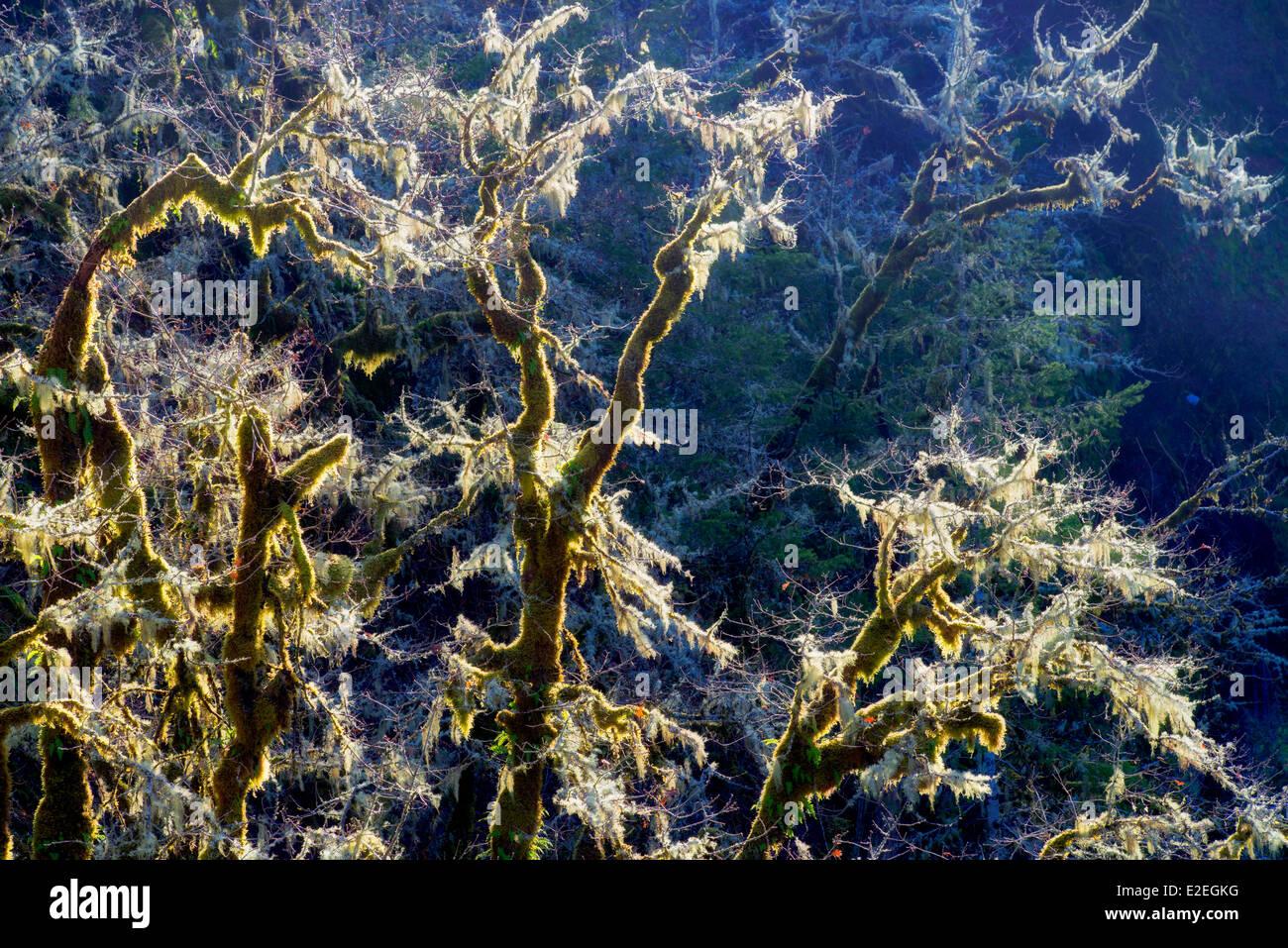 Backlit moss on oak trees. Eagle Creek, Oregon - Stock Image