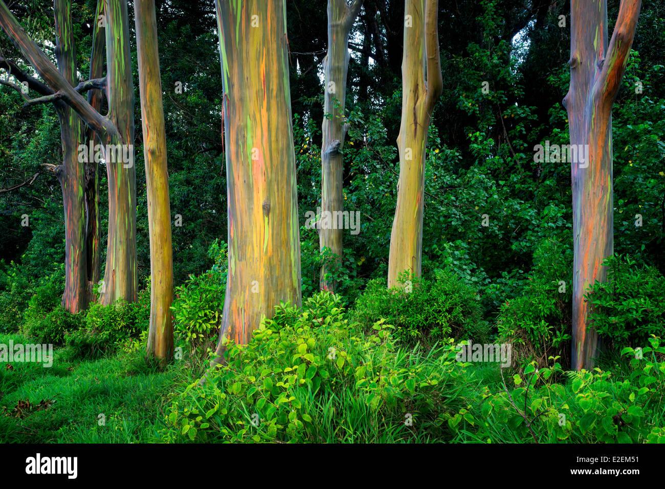 Rainbow Eucalyptus (Eucalyptus deglupta). Maui, Hawaii - Stock Image