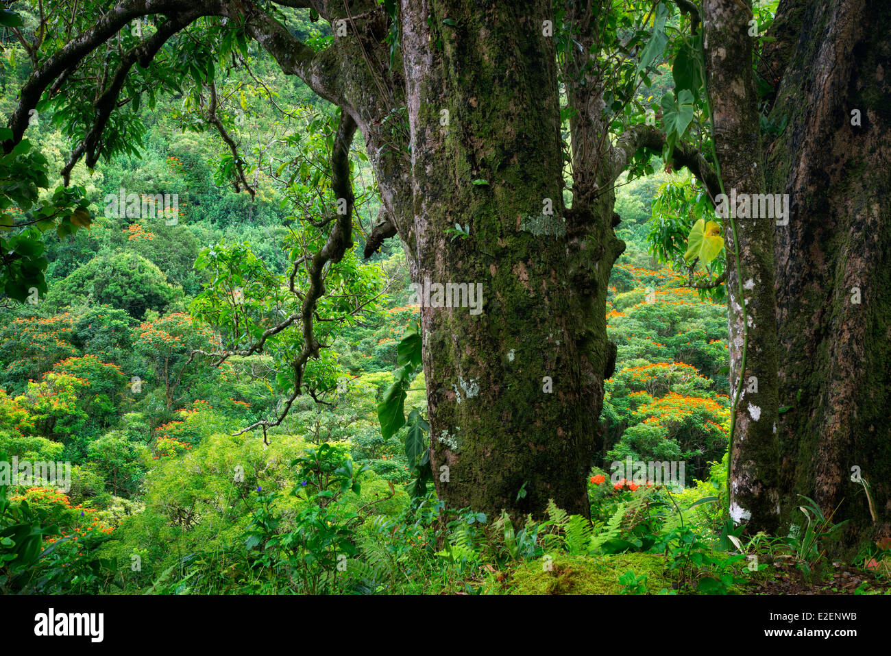 African Tulip Trees as seen through trees on road to Hana. Maui, Hawaii - Stock Image