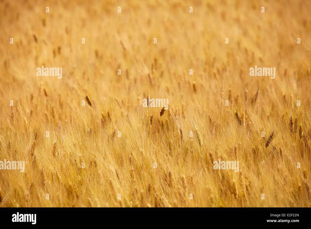 France, Indre et Loire, Wheat Field - Stock Image