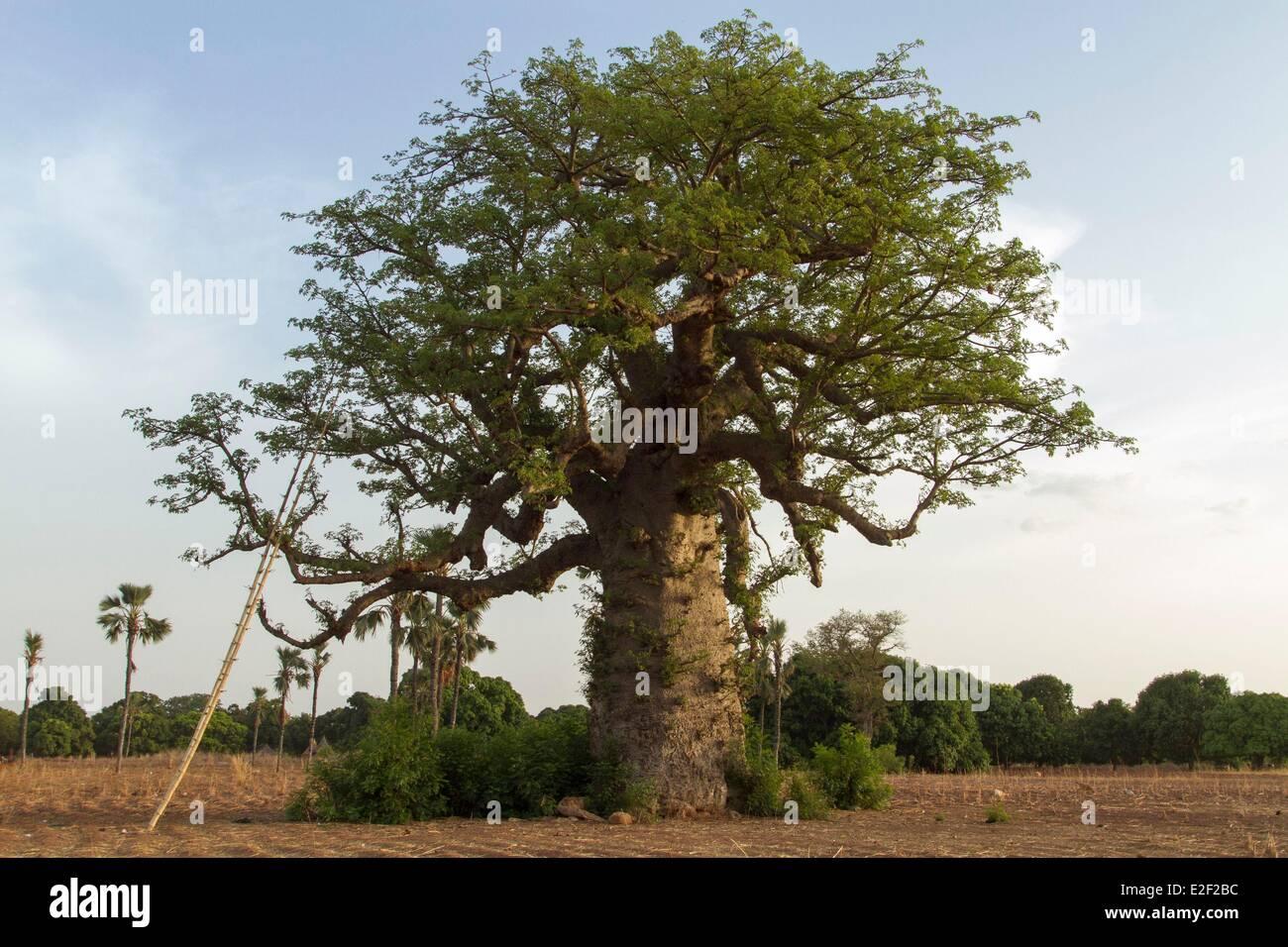 Burkina Faso, baobab in Senoufo area - Stock Image