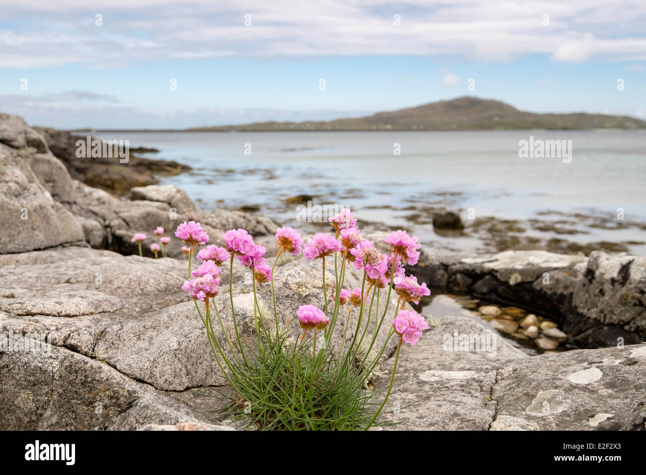 Thrift / Sea Pink flowers growing amongst rocks on beach with view to Eriskay. Kilbride South Uist Outer Hebrides - Stock Image