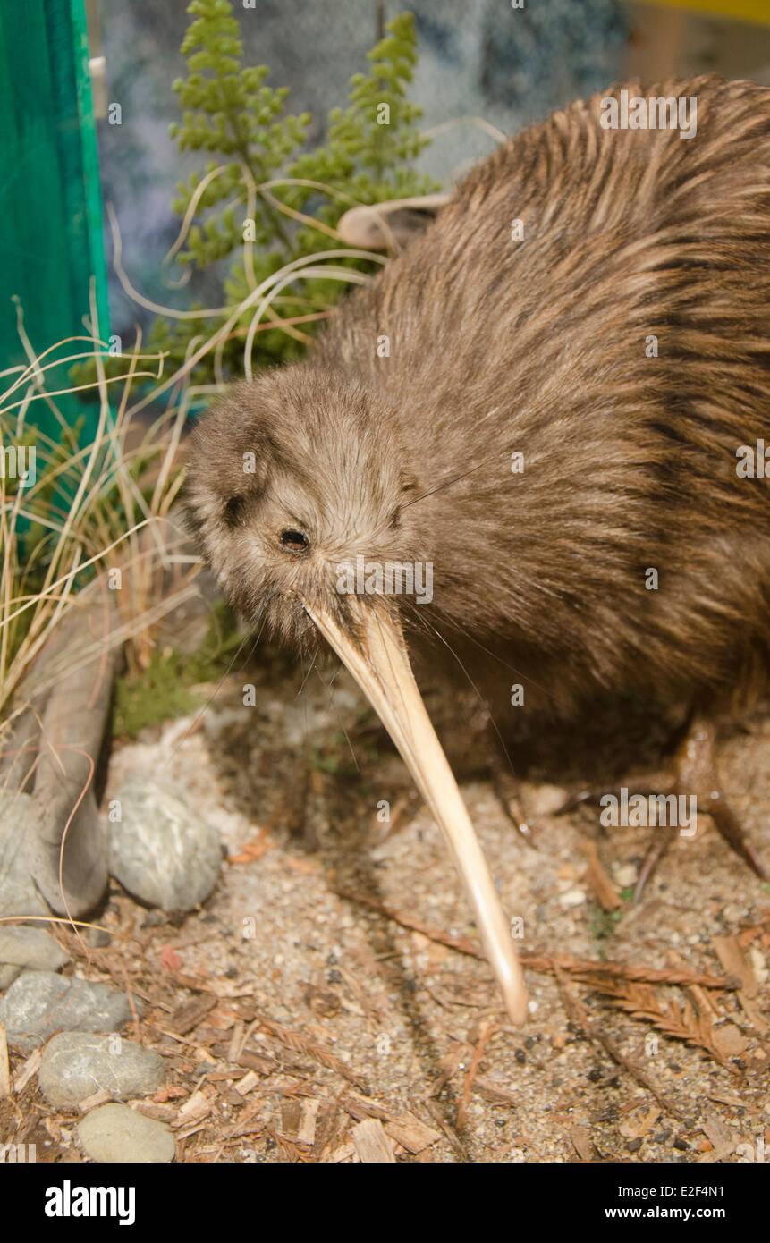 New Zealand, North Island, Rotorua, Rainbow Springs. Stuffed display of endangered Brown Kiwi bird with chick. - Stock Image