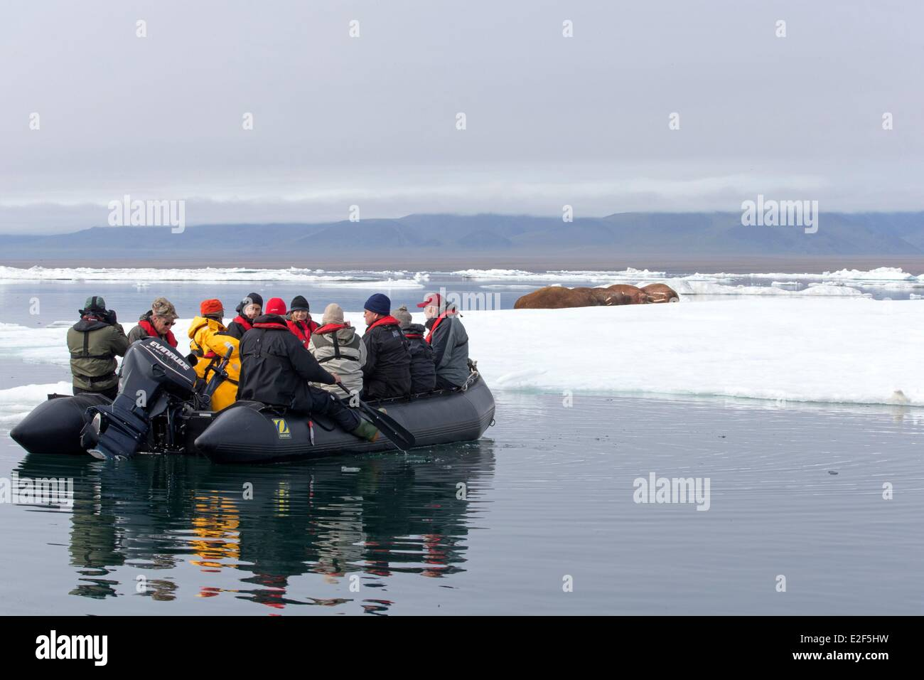 Russia Chukotka autonomous district Wrangel island Pack ice Pacific walrus (Odobenus rosmarus divergens) resting Stock Photo