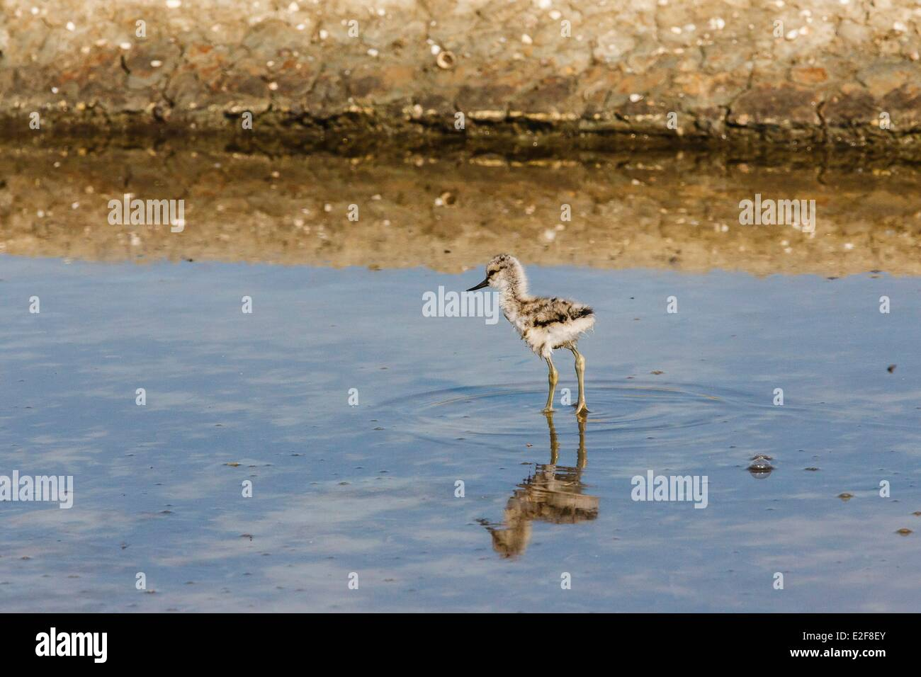 France, Vendee, L'Ile-d'Olonne, pied avocet chick in a salt marshes - Stock Image