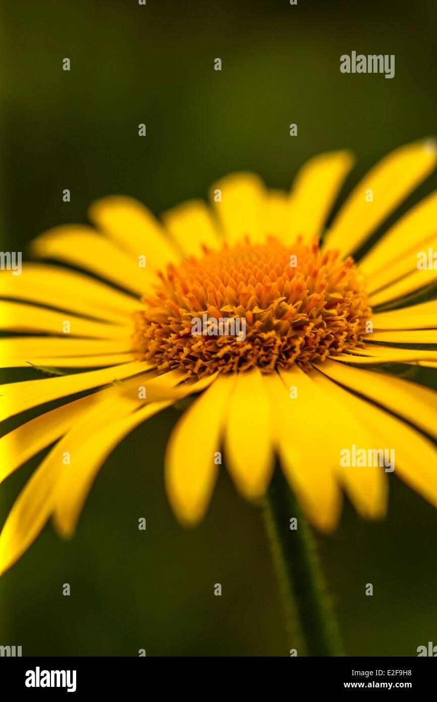 Close Up Of A Daisylike Flower Stock Photo 70407604 Alamy