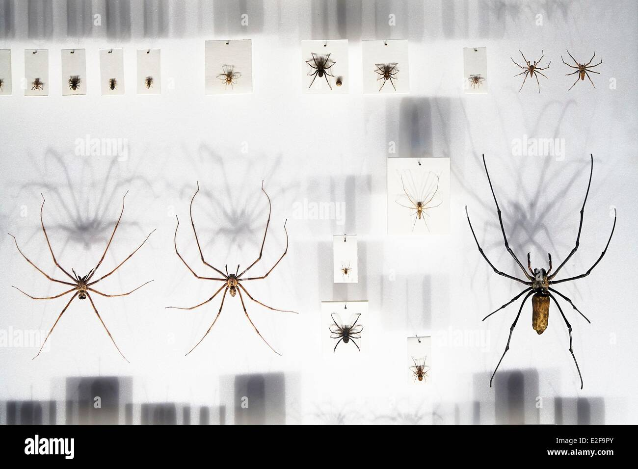 France, Haute Garonne, Toulouse, Natural History Museum, Spider collection - Stock Image