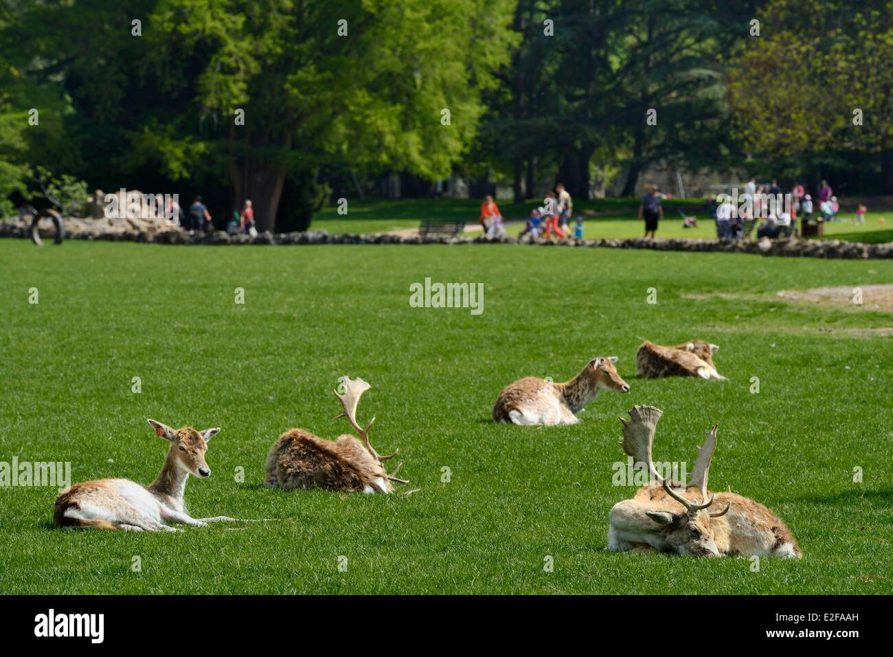 France Rhone Lyon Parc De La Tete D Or Tete D Or Park The Deer Stock Photo Alamy