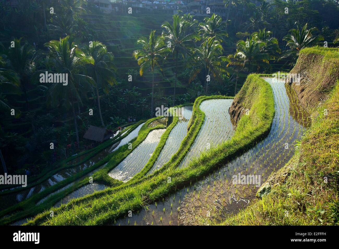 Indonesia, Bali, near Ubud, Tegalalang, rice field Stock Photo