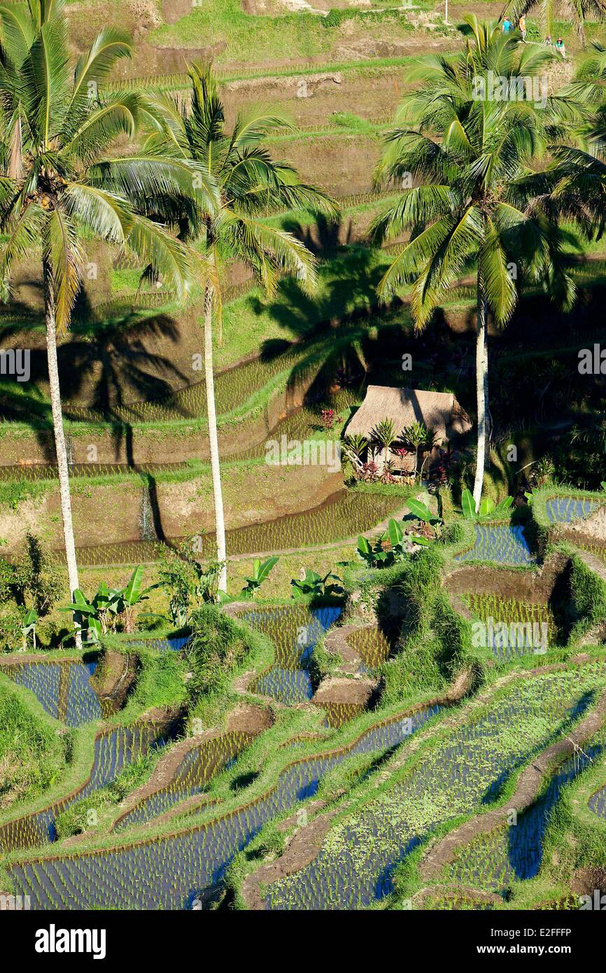 Indonesia, Bali, near Ubud, Tegalalang, rice field Stock Photo