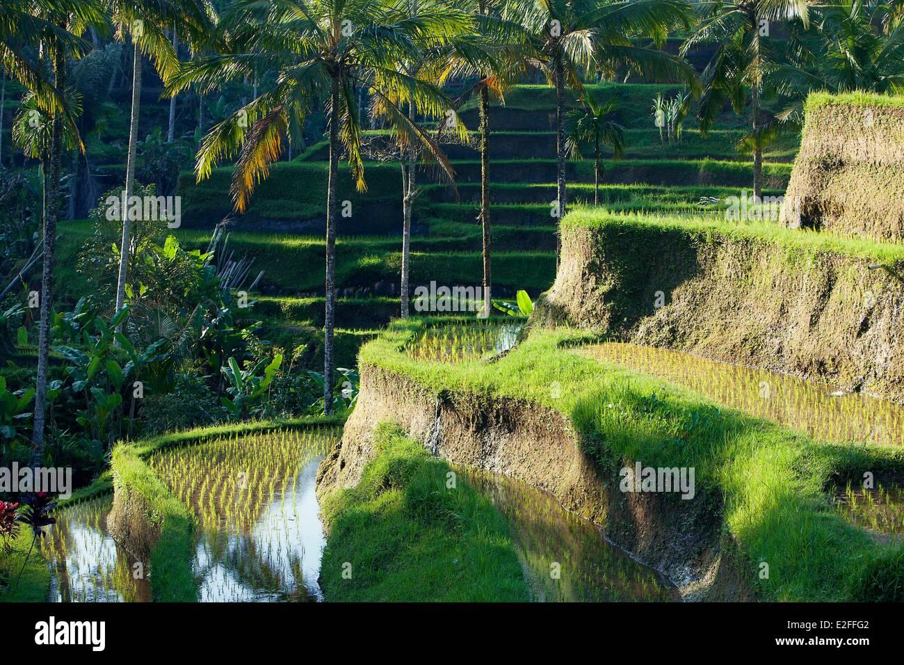 Indonesia, Bali, near Ubud, Tegalalang, rice field - Stock Image