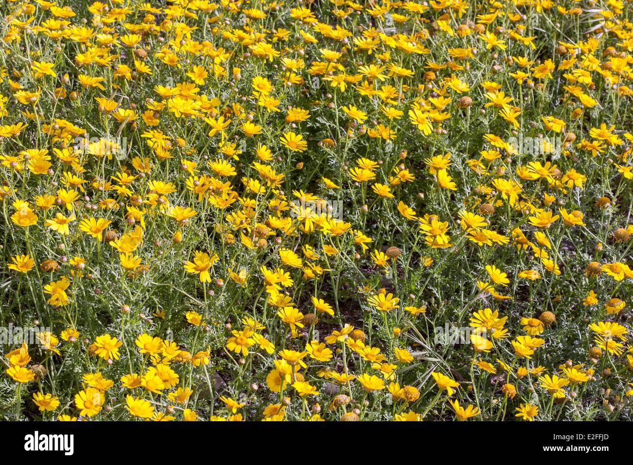 Cyprus, Paphos, yellow daisies - Stock Image