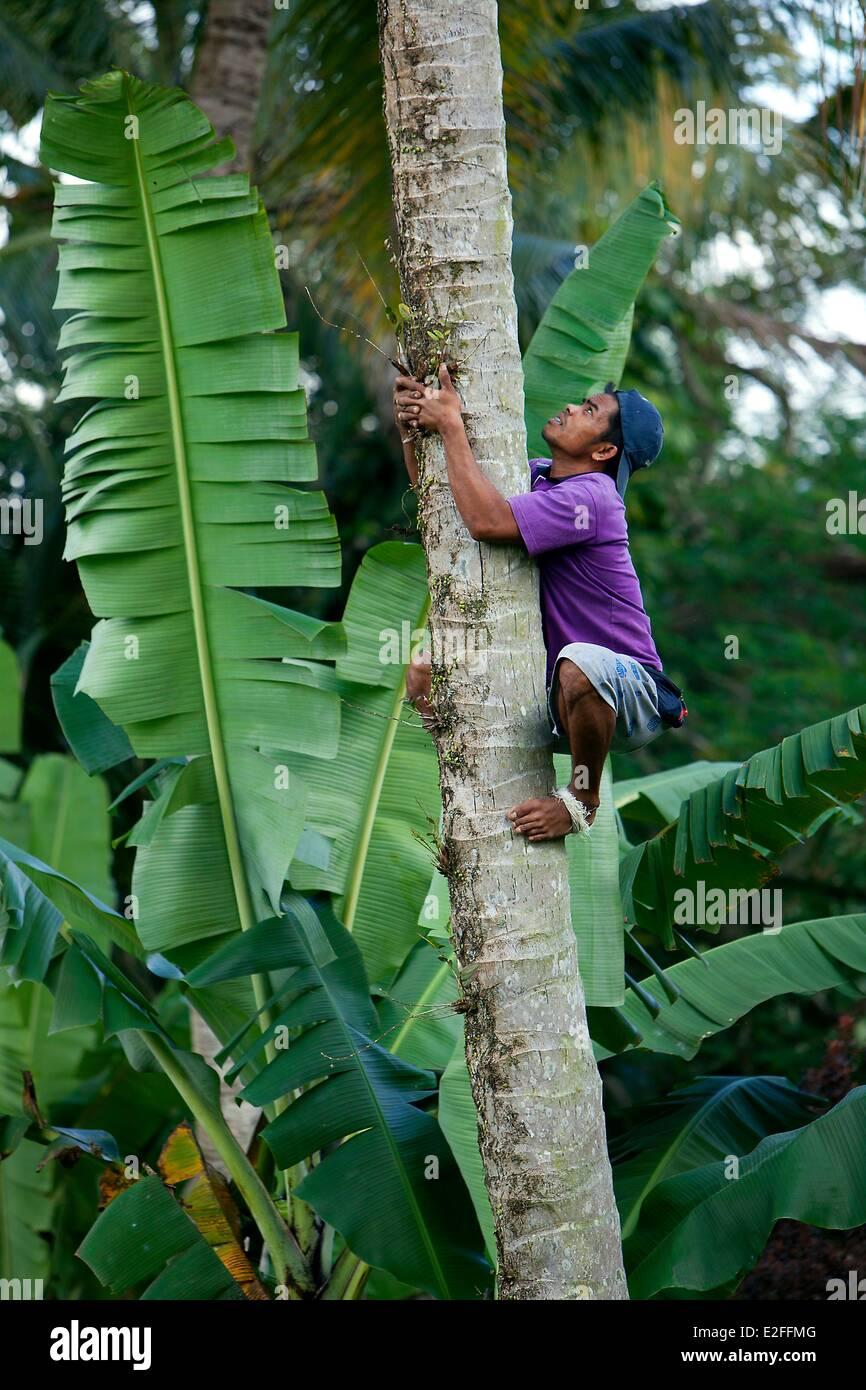 Indonesia, Bali, Ubud, Ayun Gorges, harvest coconuts - Stock Image