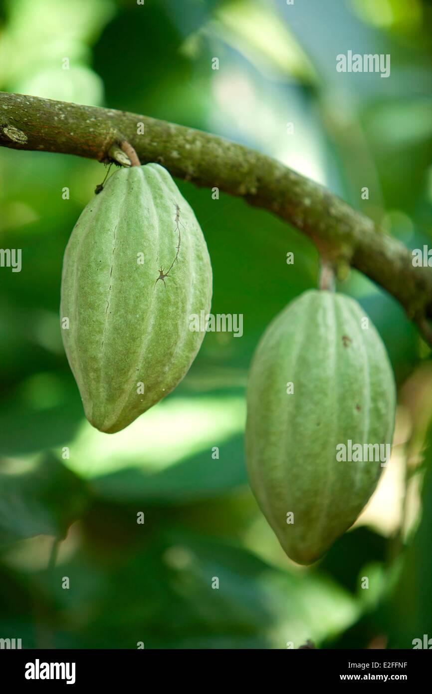 Indonesia, Bali, near Ubud, plantation of cocoa, pods - Stock Image