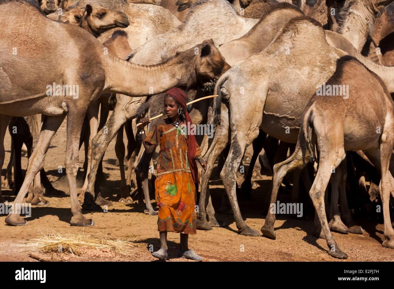 Chad, Sahel, Eref, camels at the water hole - Stock Image
