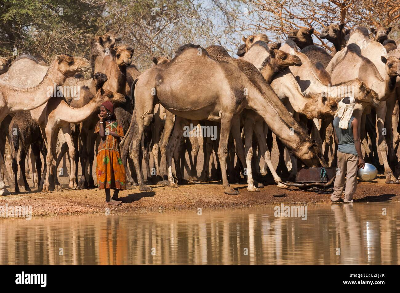 Chad, Sahel, Eref, camels at the water hole Stock Photo