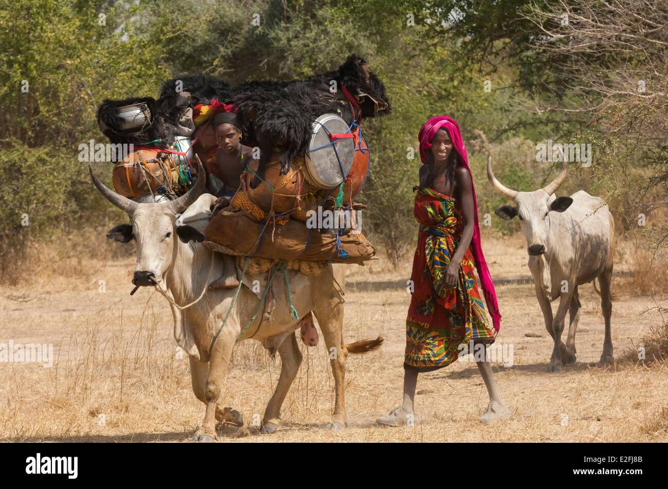 Chad, Sahel, Loumia savannah, migration of the Fulani or Foulbe nomads, with their zebus - Stock Image