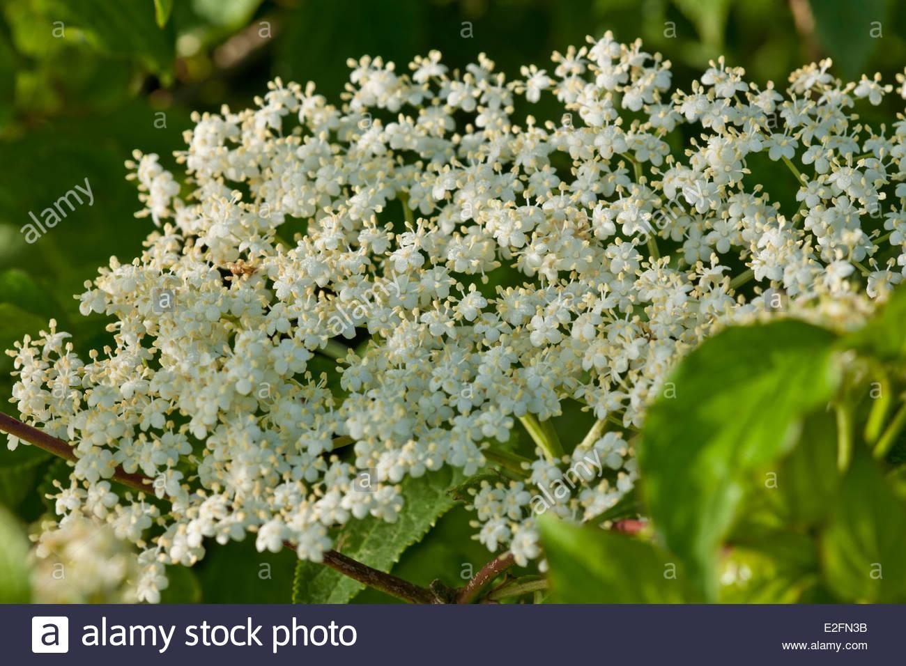 Sambucus Nigra Elderflower Black Elderberry Summer Flower Wild