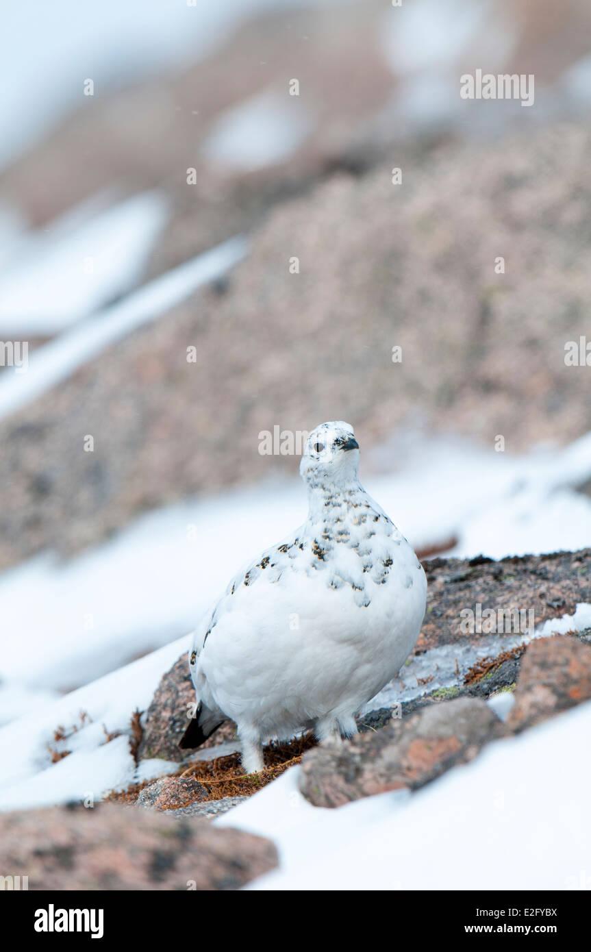 Rock ptarmigan (Lagopus mutus) adult female in winter plumage, walking across a granite outcrop on Cairn Gorm - Stock Image